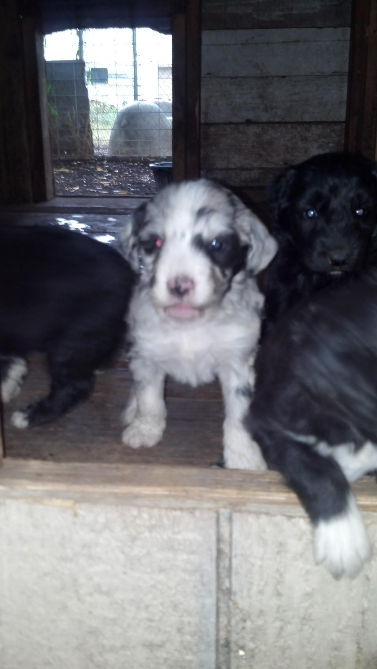 HoldenRaussies - AussieDoodlesWe still have pups available #aussiedoodles#bluemerle#gorgeous