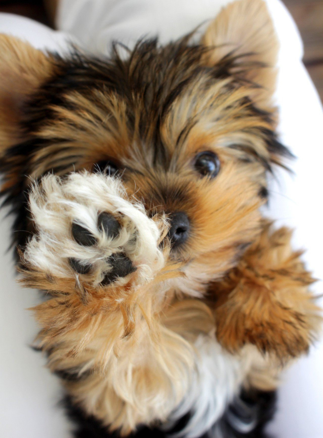 The Daily Cute Yorkies to Happiness Hypoallergenic dog