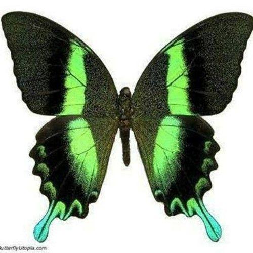Emerald Papilio Blumei Butterfly