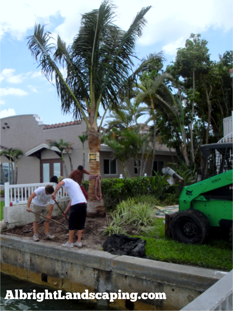 Coconut Palm Salt Tolerant Shade Tree When We Install This Palm Tree It Is 15 20 But Will Grow Up To 50 Ta Landscape Services Backyard Beach Shade Trees