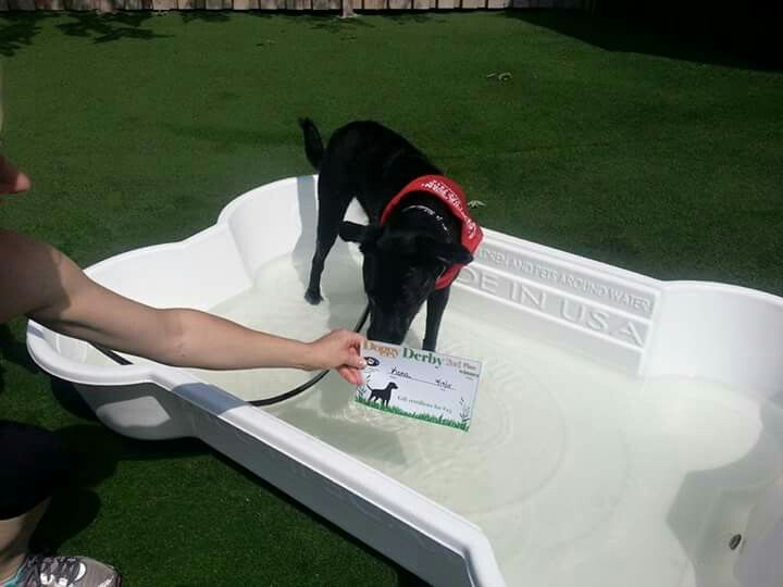 Kona, enjoying a dip in the pool after winning @acloserbond 2015 Doggy Derby