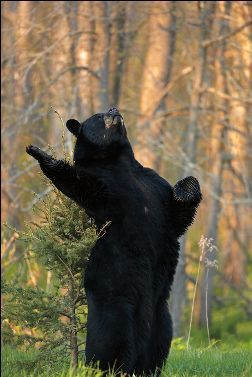 black bear sings opera!
