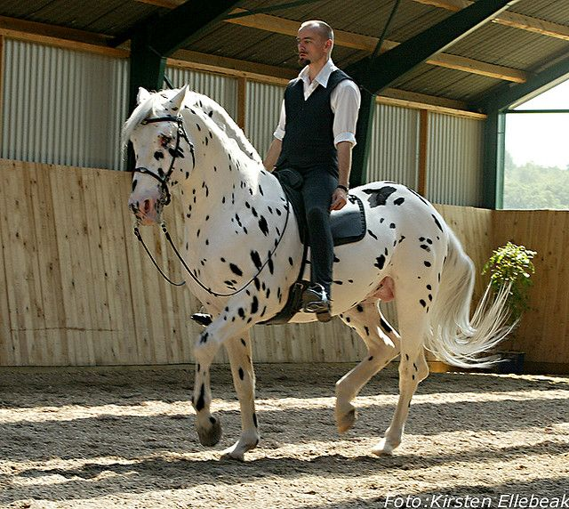 """kimblewick: """" showjumperer: """" how piaffe should be ridden :P """" Just want to point out that this horse has been completely blind for over 15 years and still performs high level dressage with Bent..."""