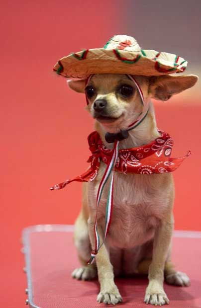 Chinoe A Chihuahua Dressed In Mexico S National Colours Cute Dogs Chihuahua Cute Animals
