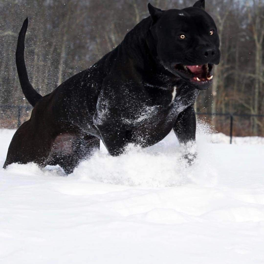 Kinda looks like a panther | animals | Dogs, Black pitbull, Big dogs