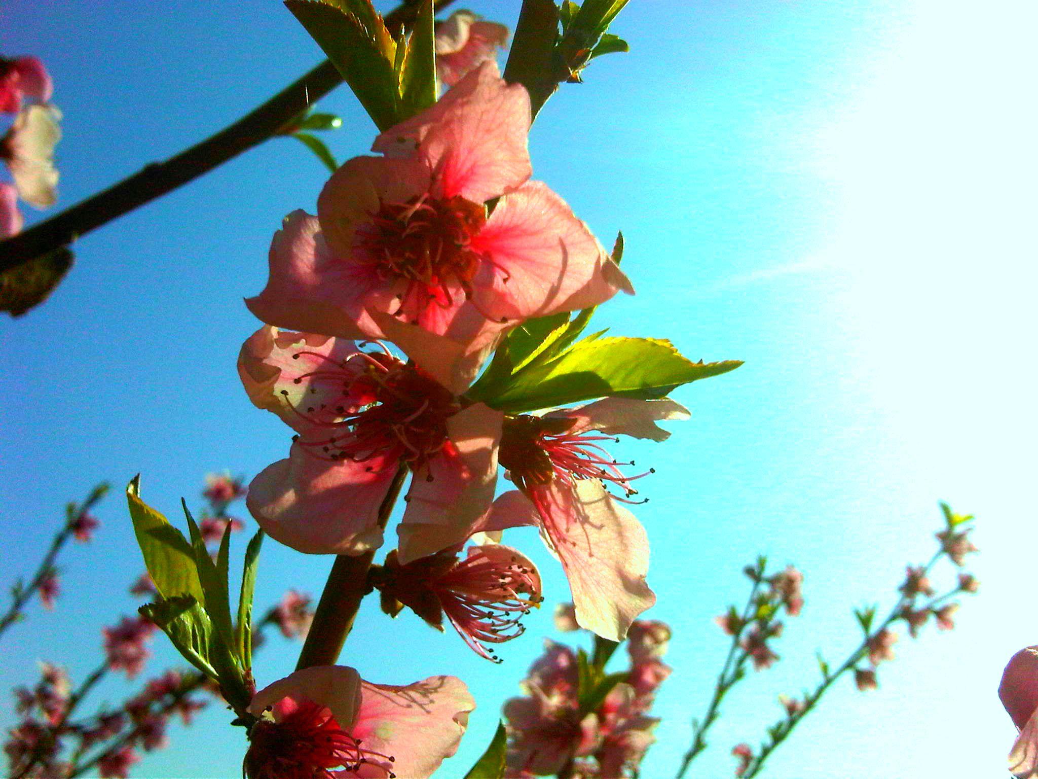 Peach tree 03.2012 Muggia, Italy
