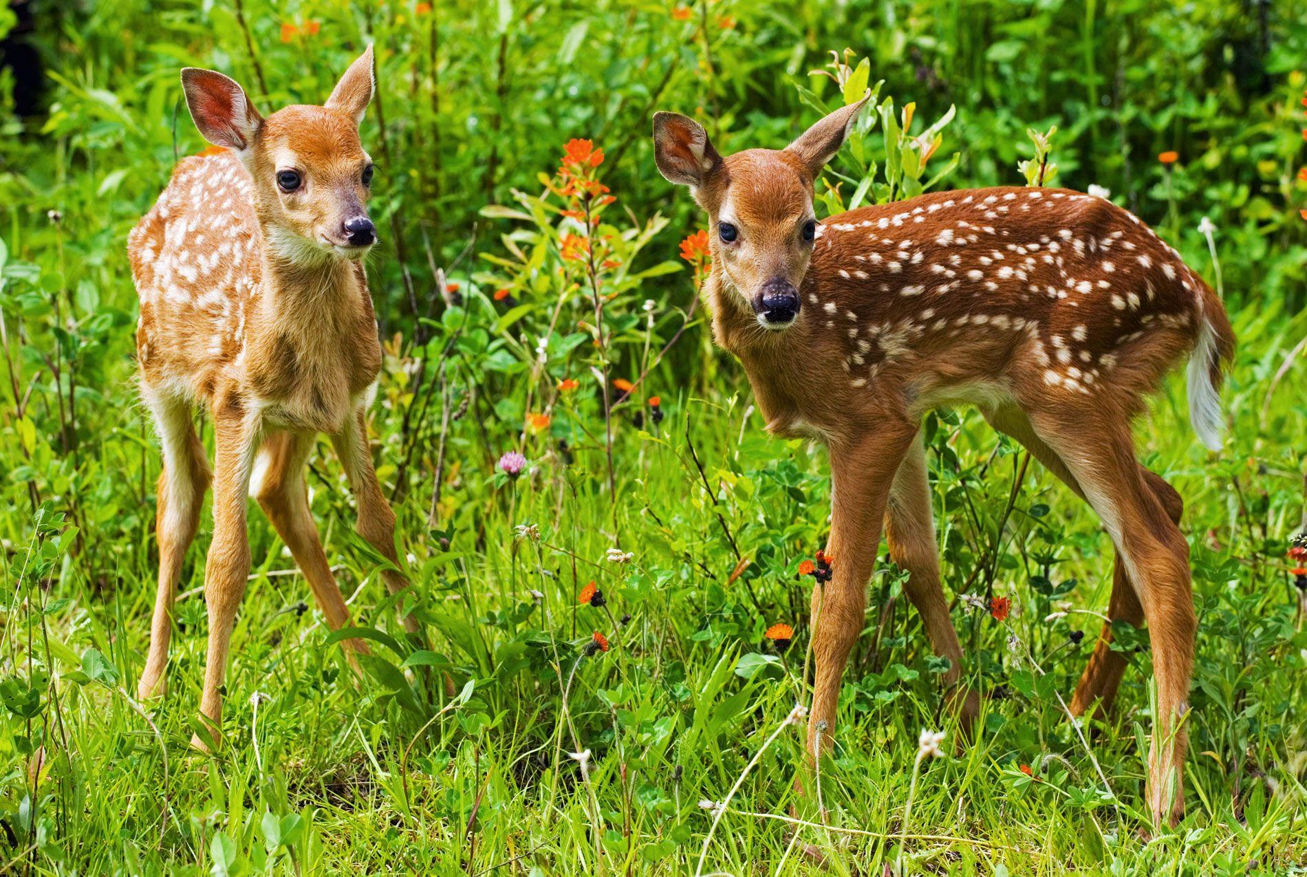 Deer Nature Animals Fawns Baby Animals Wallpapers Hd: Baby Deer Wallpaper 2014 Free 15 HD Wallpapers