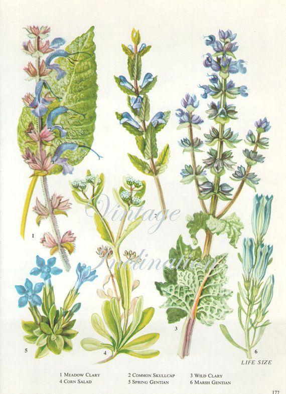WILD FLOWERS Vintage Botanical Print Antique,  blue plant print 177 botanical print, bookplate art print, herb plants plant wall print  9 1/2 x 7   $8.00