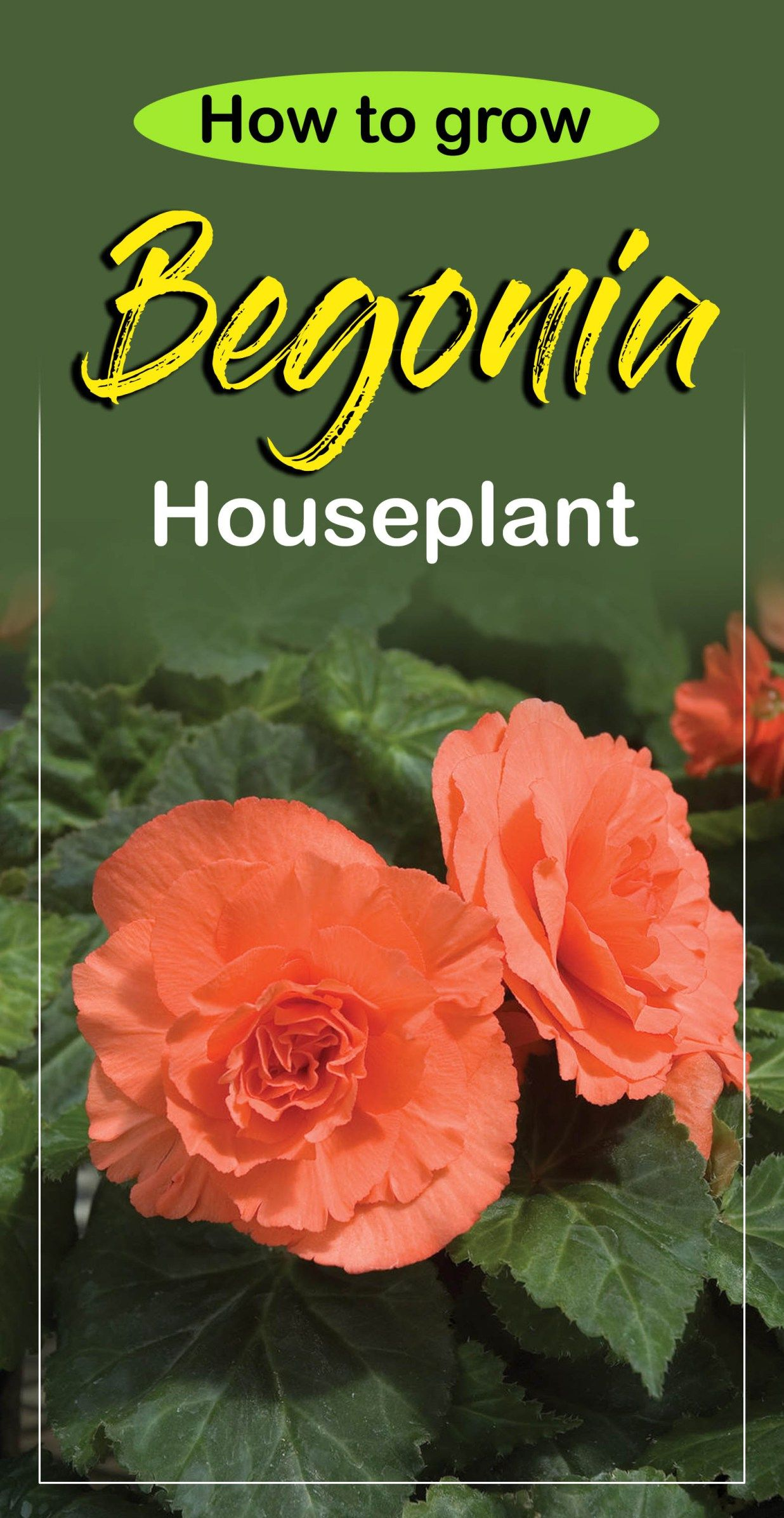 How To Grow Begonias Growing Begonia Begonia Care Naturebring Plant Care Houseplant Indoor Flowering Plants Plants