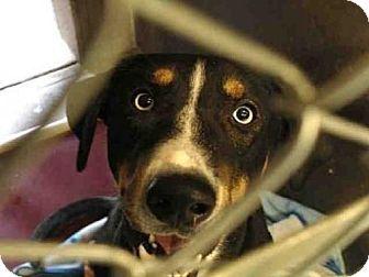 Mesa Az German Shepherd Dog Australian Shepherd Mix Meet A3865863 A Dog For Adoption Http Www Adoptapet Com Shepherd Dog Mix German Shepherd Dogs Pets