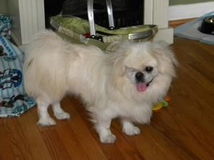 Honey Is An Adoptable Pekingese Dog In Rochester Ny Duffys