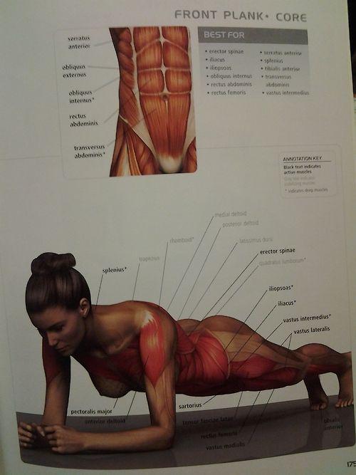 Muscle diagram - CORE: Plank | tipos de ejercicios | Pinterest