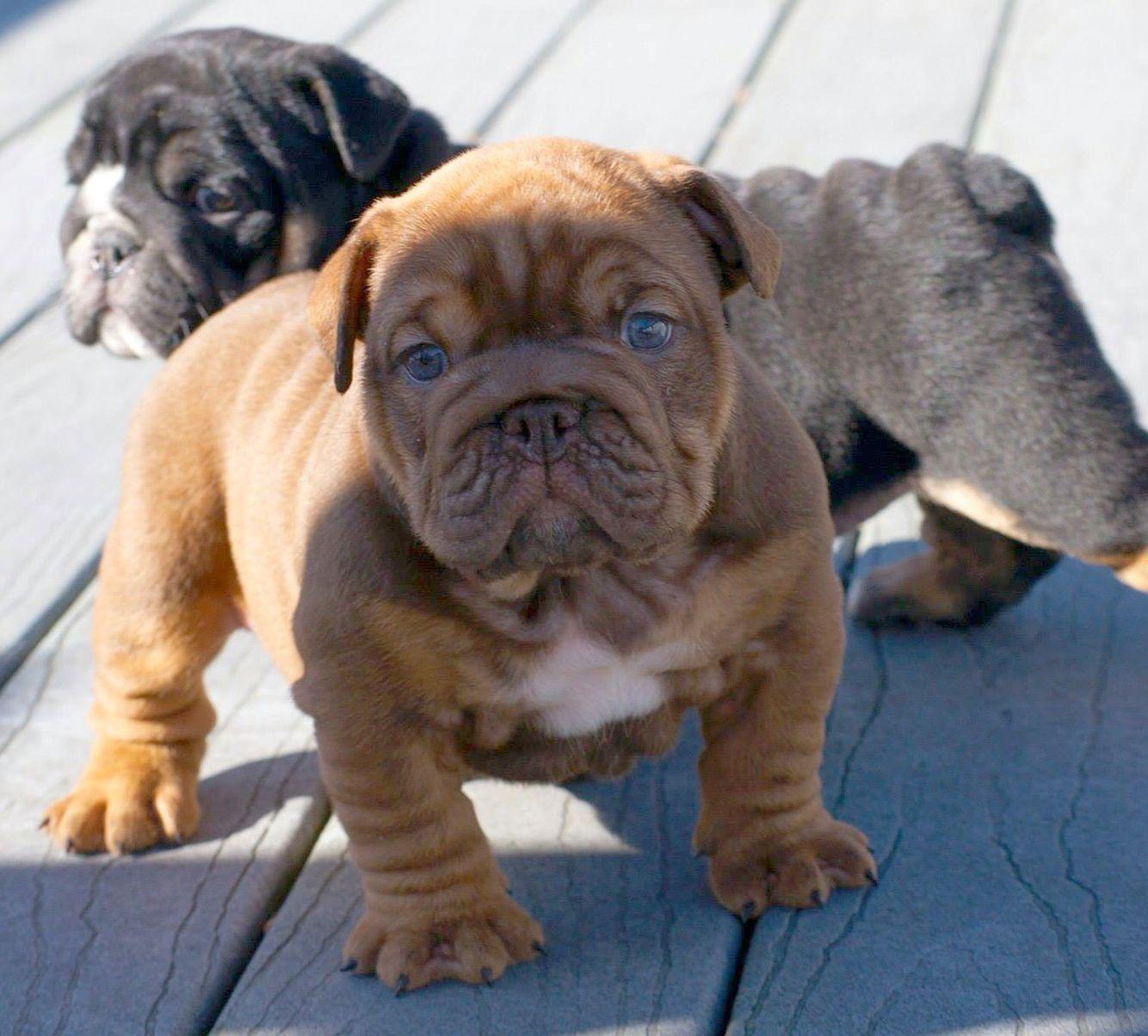 Blue Eyed English Bulldog Puppy Baby Dogs Baby Animals English Bulldog Puppies