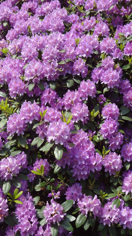 le rhododendron se plante en automne il aime l 39 ombre ou le. Black Bedroom Furniture Sets. Home Design Ideas