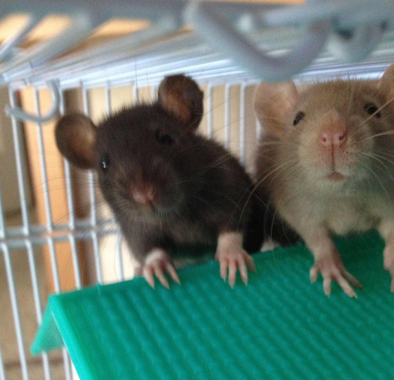 looks like my patty and selma ratties pinterest ratten. Black Bedroom Furniture Sets. Home Design Ideas