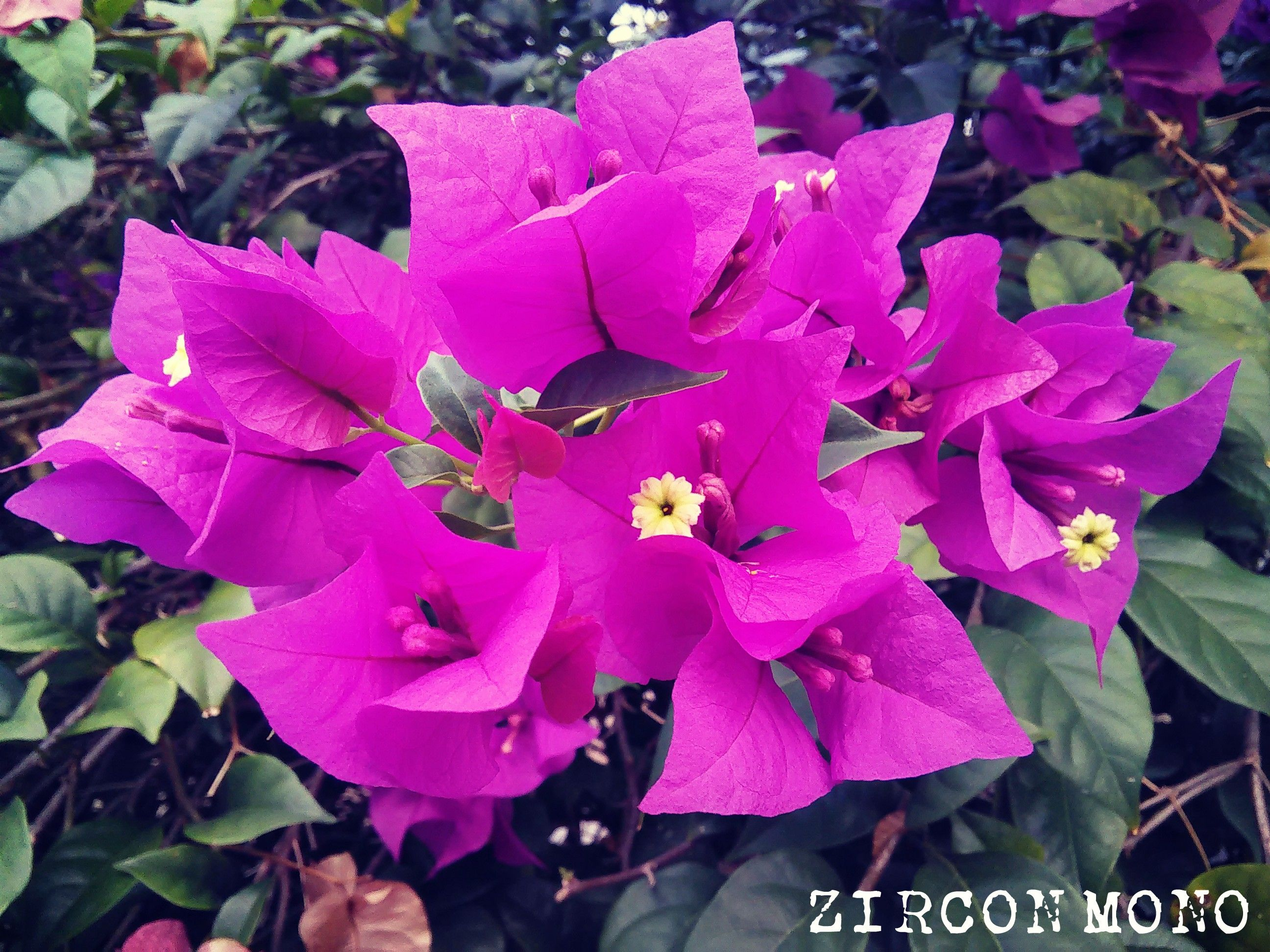 Bunga Kertas Ungu Flowers Plants Photographer