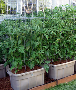 Turn Storage Containers Into Self Watering Tomato Planters