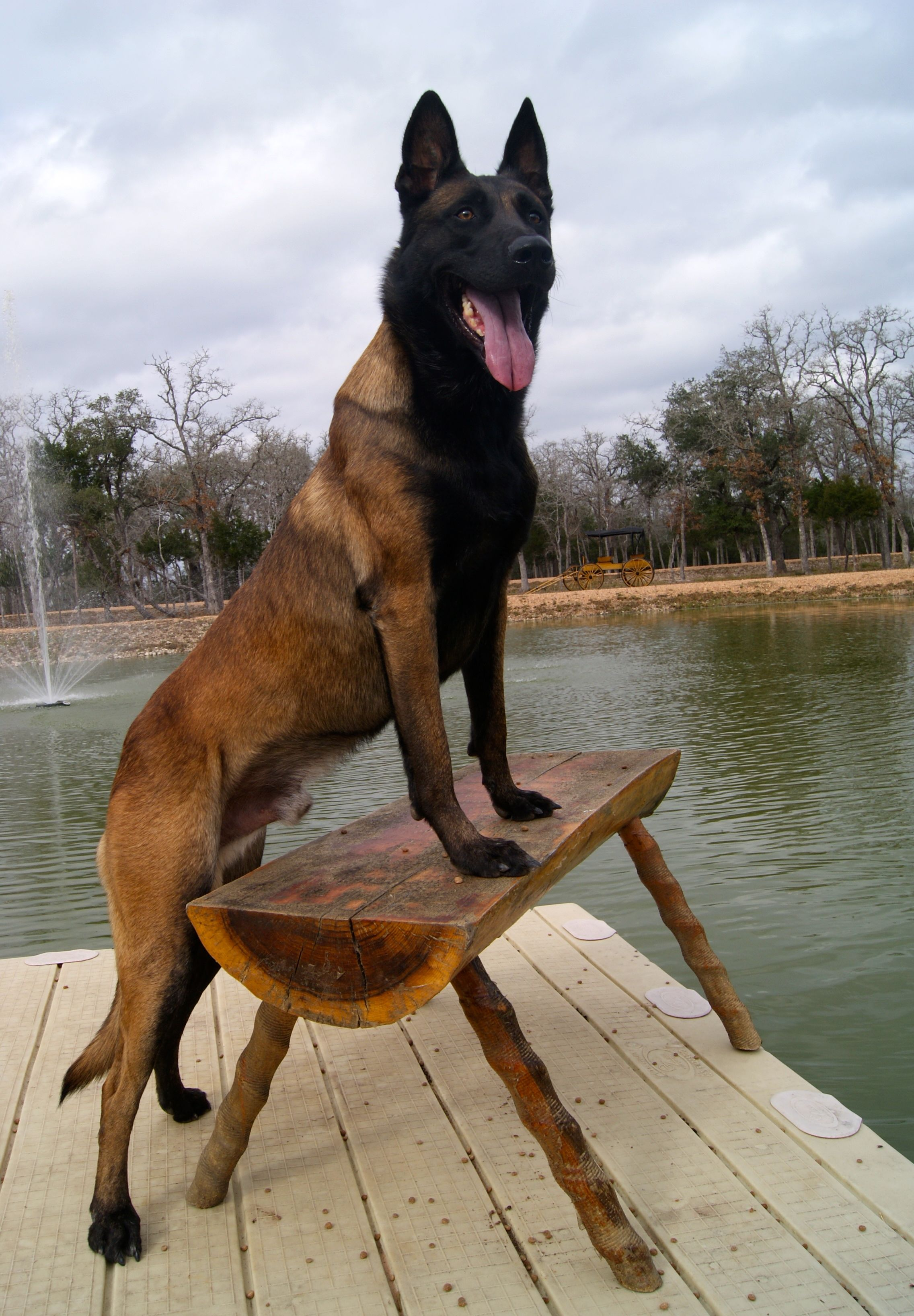 E\'Teo the Super dog! http://www.protectiondogsplus.com | German ...