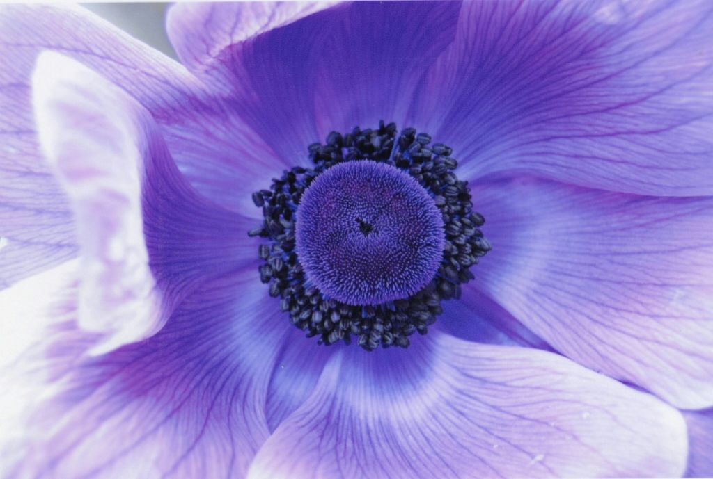 VIOLET (BLUE) - Watchfulness, Faithfulness, Love
