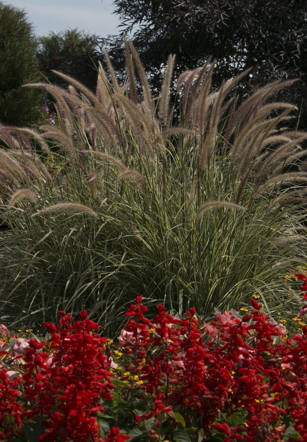 Graceful Grasses Sky Rocket Fountain Grass Pennisetum Setaceum Rubrum Grasses Landscaping Ornamental Grasses Landscape