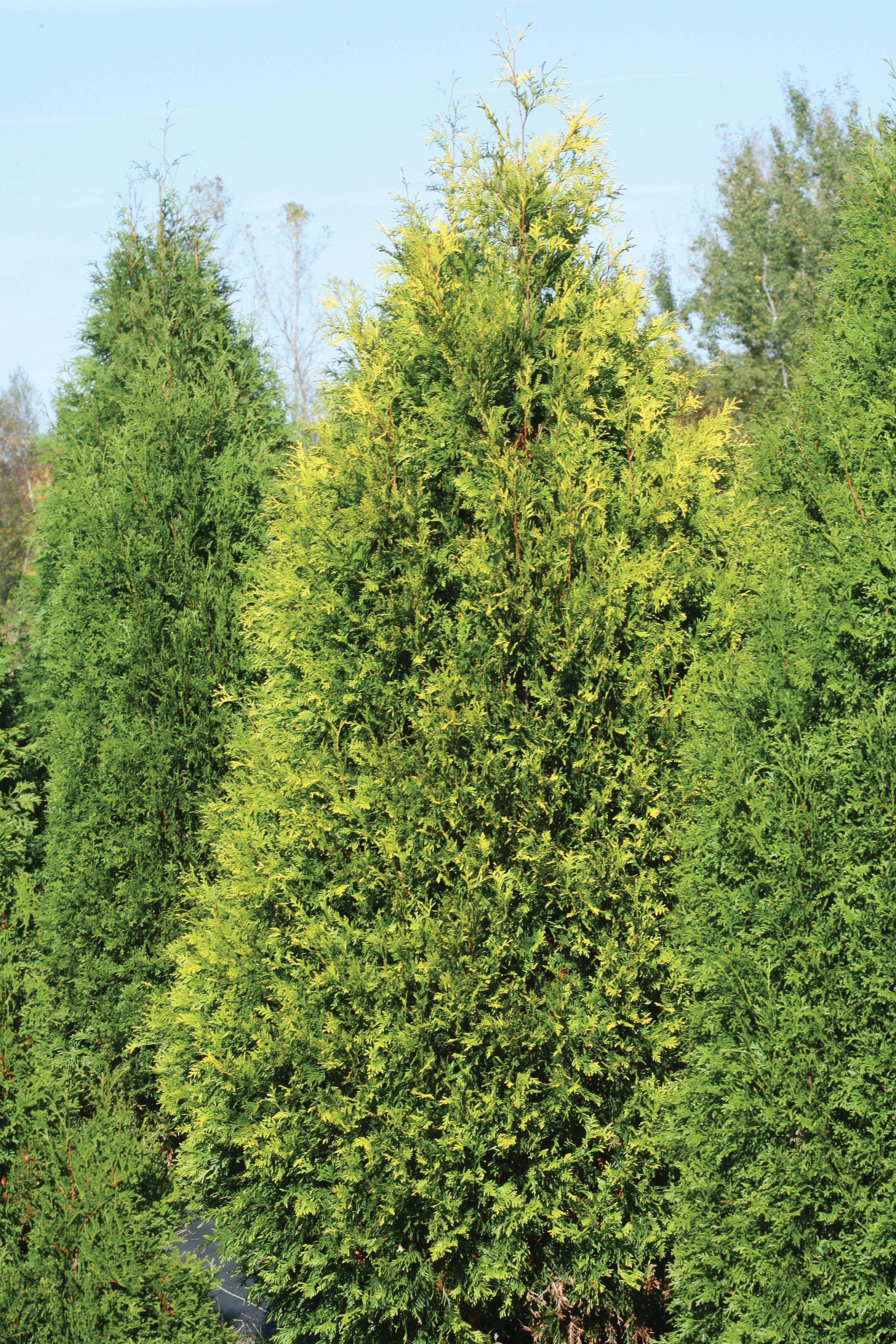 Thuja western - evergreen garden bush 79