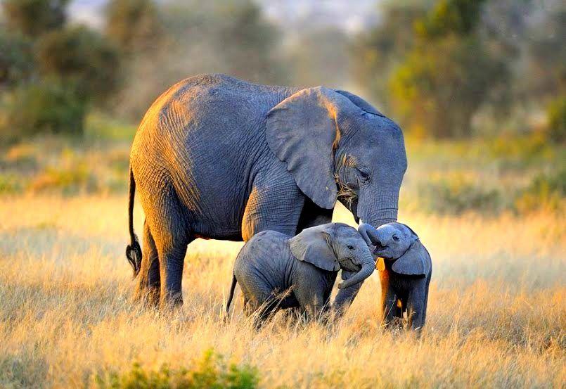 Beautiful Shot Of Mama Elephant And Her Two Babies World Elephant Day Elephants Photos Baby Elephant