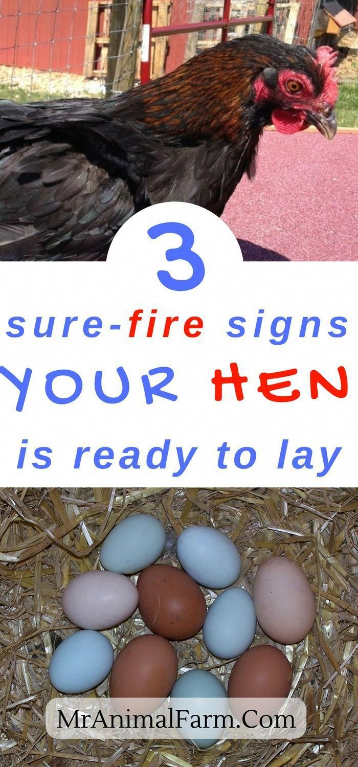 When do chickens start laying eggs? You are raising ...