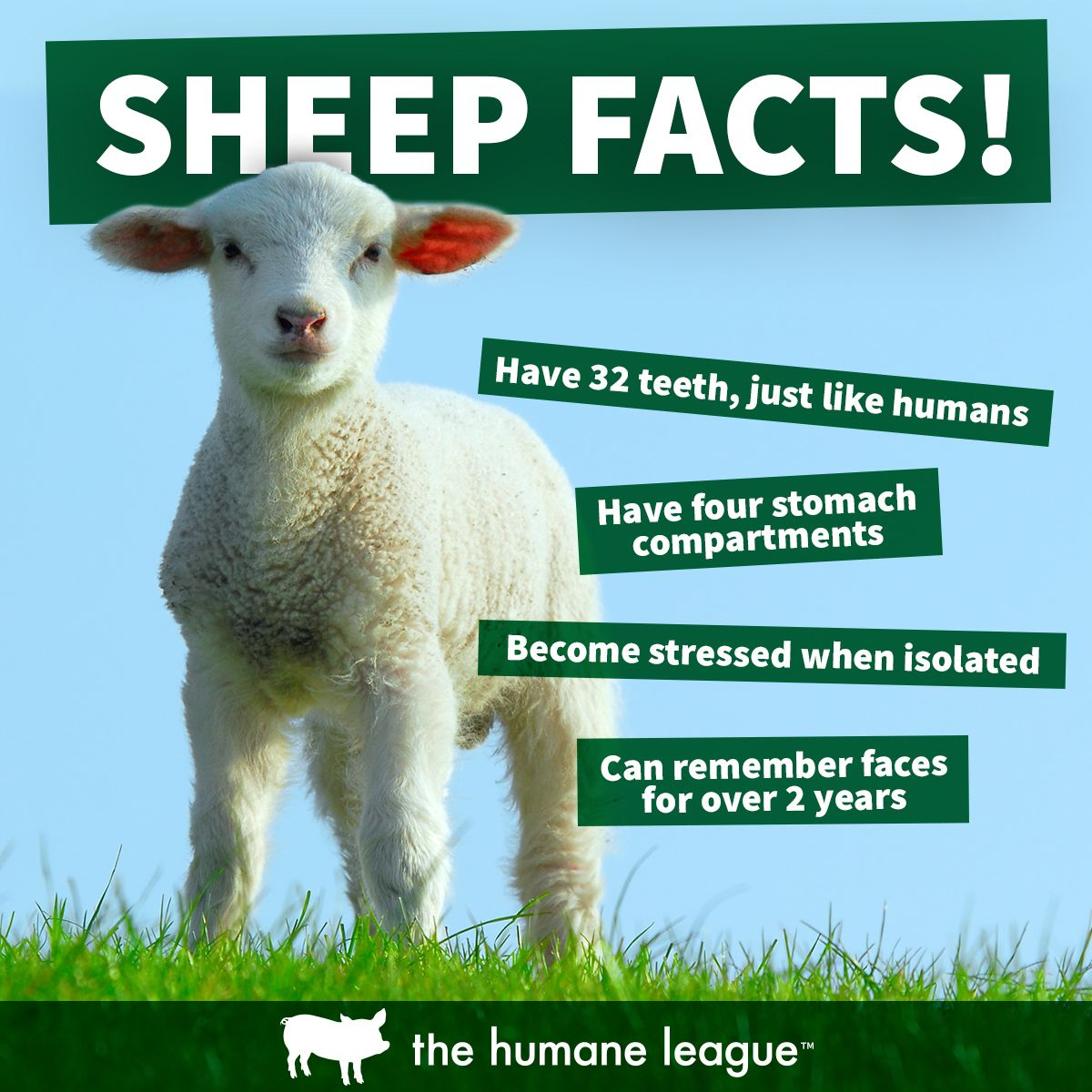 Image of: Eating Animal Facts Vegan Life Animal Rights Farm Animals Farming Pinterest Sheep Facts Animal Facts Animal Facts Animals Sheep