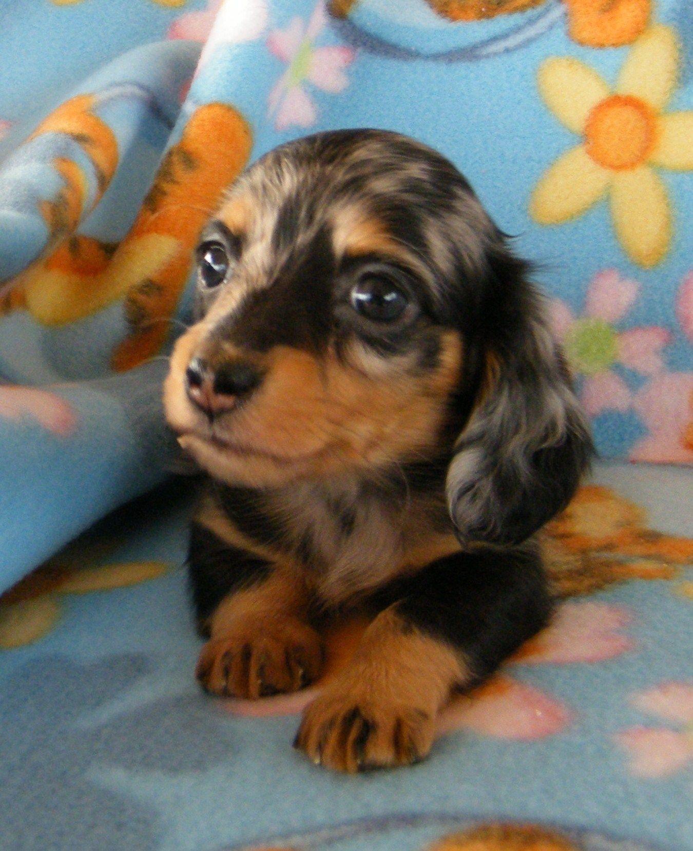 Teacup Weiner Leppold's Mini Dachshunds teacupdogslist