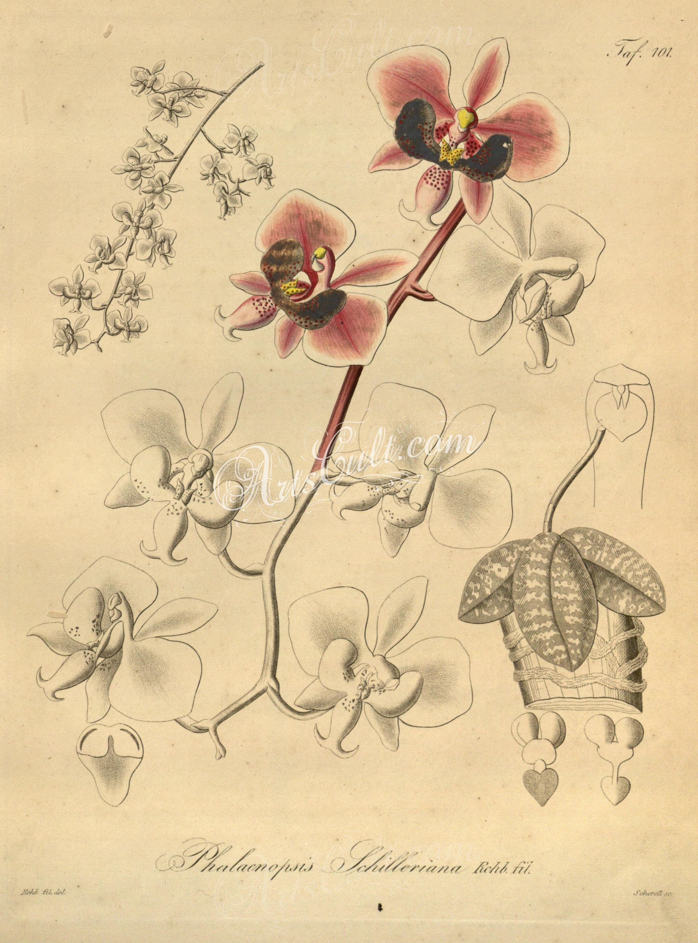 Orchids phalaenopsis schilleriana botanical floral botany