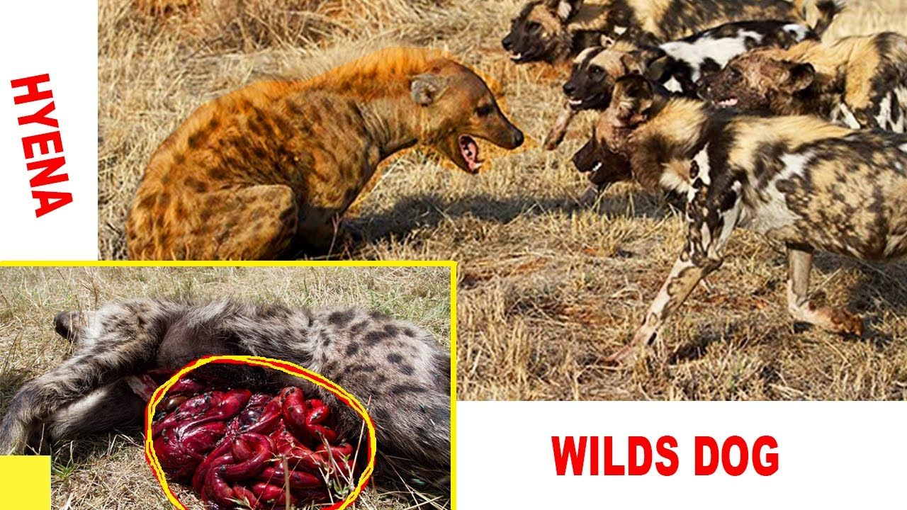African Wild Dogs vs. Hyena BRUTAL FIGHT  - Amazing Gory Battle 2016