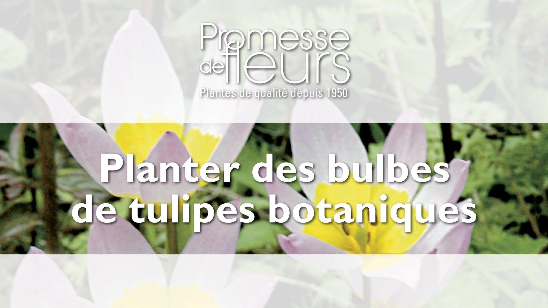 Planter des tulipes botaniques jardinage pinterest for Conseil jardinage