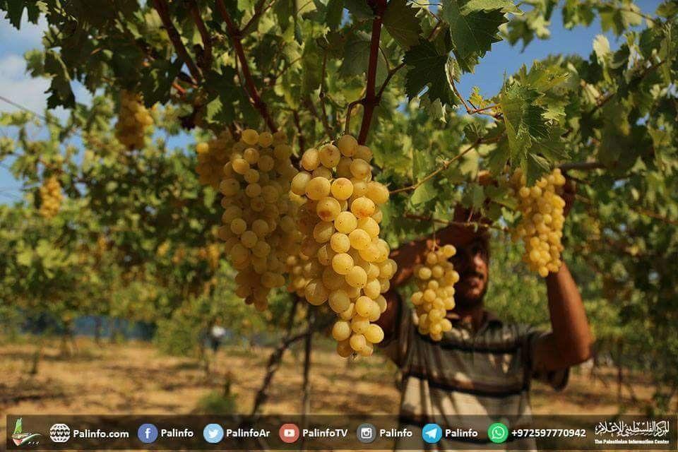 صورة جني محصول العنب غرب مدينة غزة Grapes Fruit Food