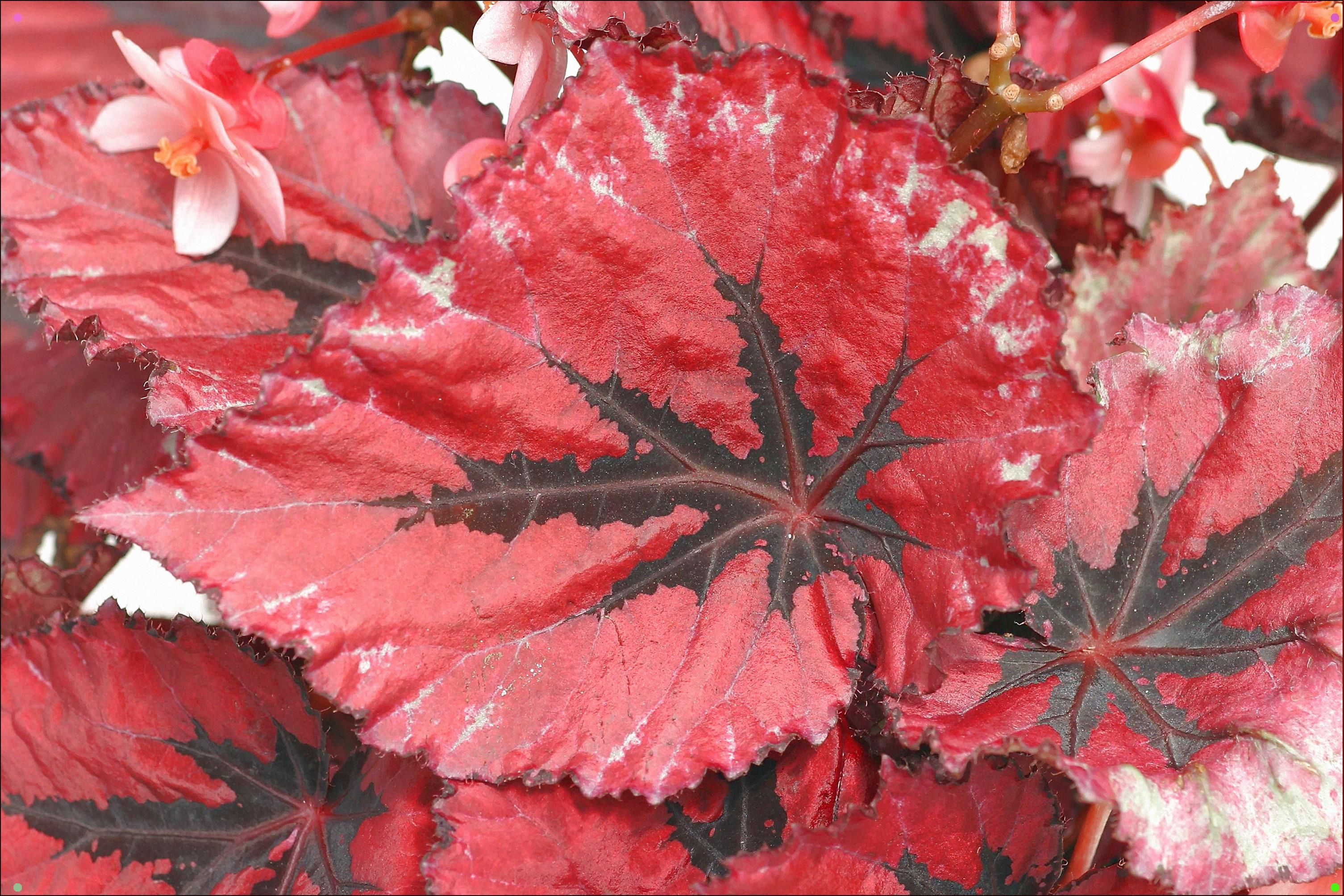 Begonia Rex Begonia Rex La Begonia Pertenece An Un Extenso