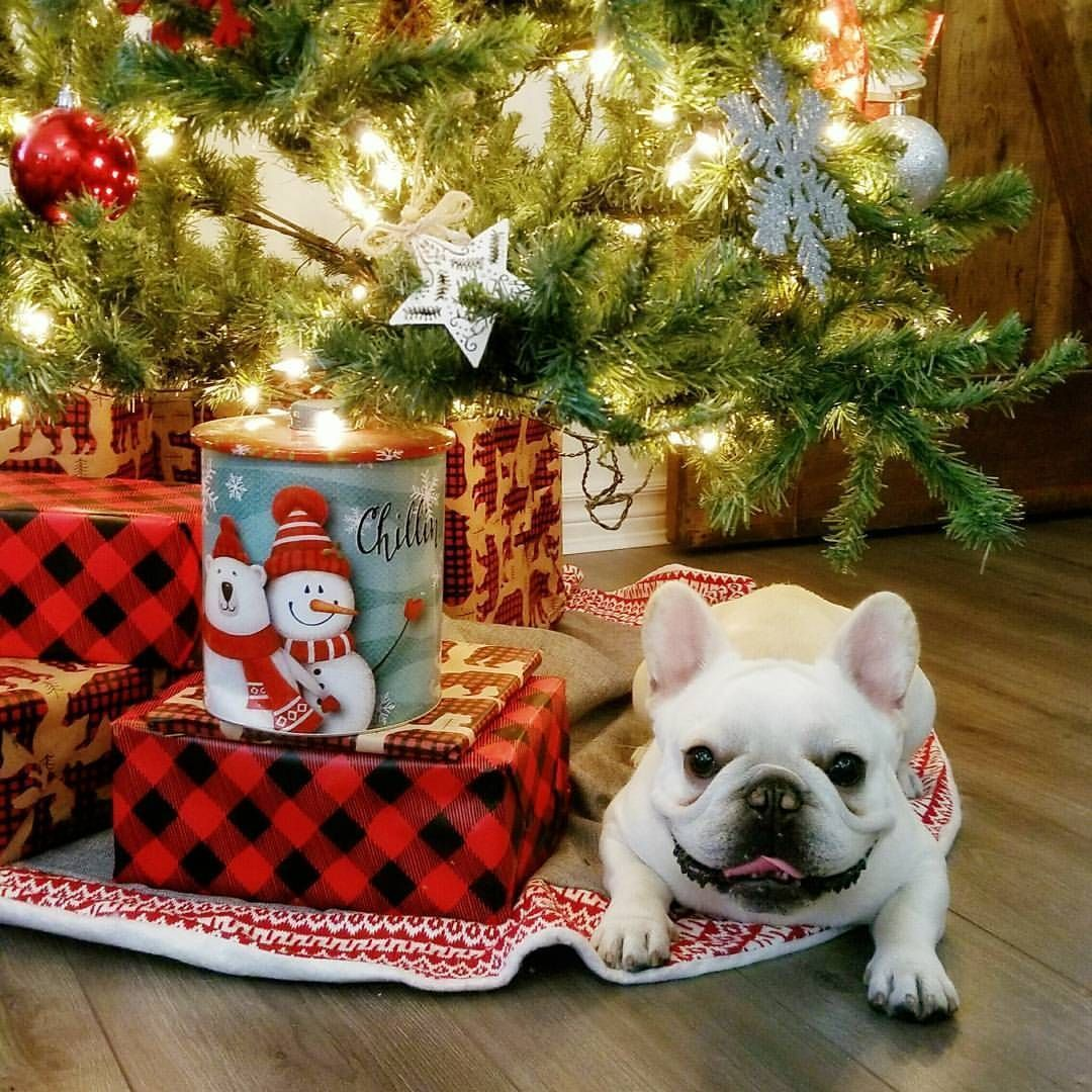 Did Someone Have A Bulldog On Their Christmas Wish List Bulldogsforchristmas Buldog Bulldog French Bulldog White French Bulldog Puppies