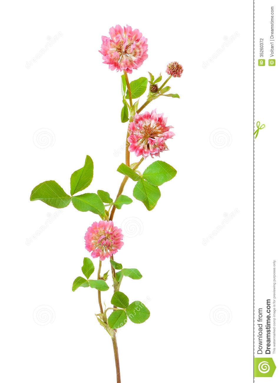 Pink Clover Flower Tattoo Idea Botanical Print Pinterest
