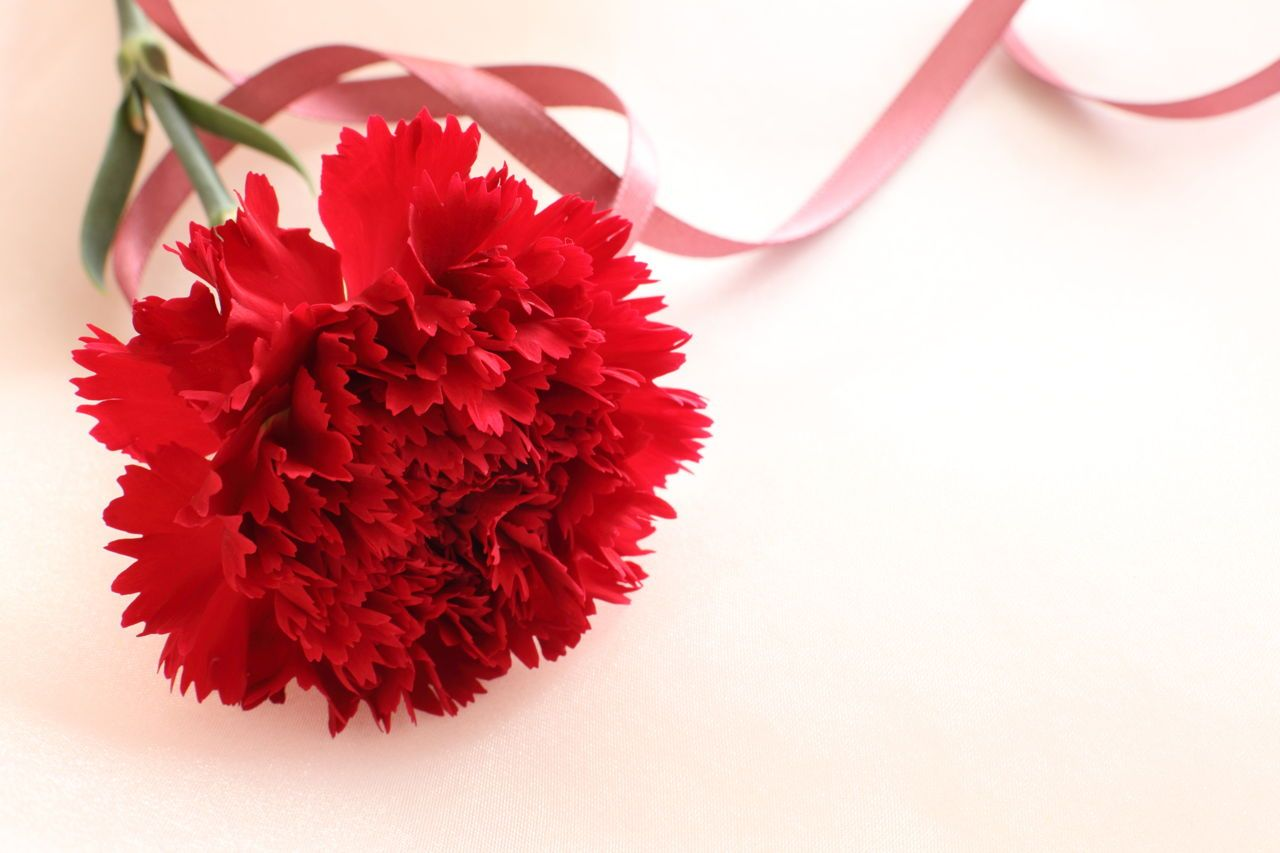 Single Flower Red Carnation History Of Carnations And Their Color Meanings Carnation Flower Carnation Flower Meaning Carnations