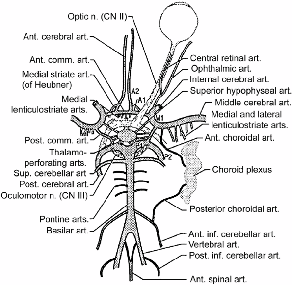 Circle Of Willis Angiogram | Figure 18 . The circle of Willis. (From Greenberg MS. Handbook of ...