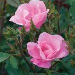 knockout single pink rose #knockoutrosen knockout single pink rose #knockoutrosen knockout single pink rose #knockoutrosen knockout single pink rose #knockoutrosen