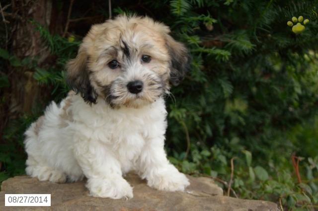 Havapoo Puppy For Sale In Ohio Havapoo Puppies Hypoallergenic Dog Breed Puppies