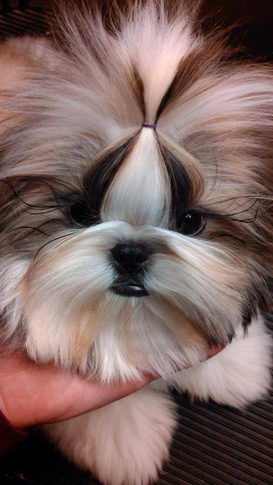 Pin By Victoria On Shih Tzu Beauty Shih Tzu Shih Tzu Dog Dogs