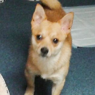 Found Dog - Chihuahua - Akron, OH, United States 44311 on July 11, 2015 (13:00 PM)