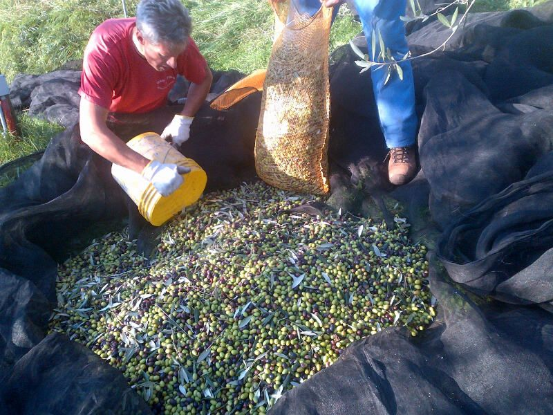 Collecting olives-Borgo giusto  2012