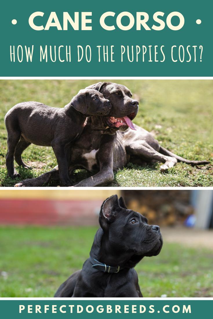 Price Of Cane Corso Puppies Cane Corso Puppies Cane Corso Puppies