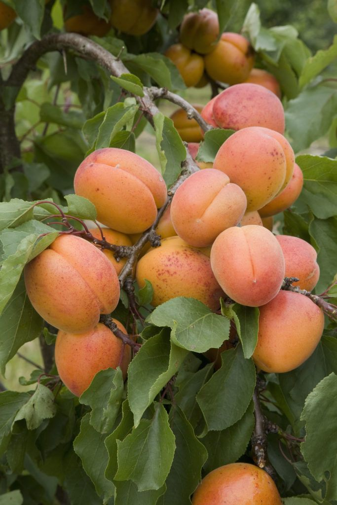 The Five Easiest Fruit Trees To Grow The Prospect Of Growing Fruit Trees Can Be Daunting Pollination Groups Growing Fruit Trees Fruit Trees Uk Apricot Tree