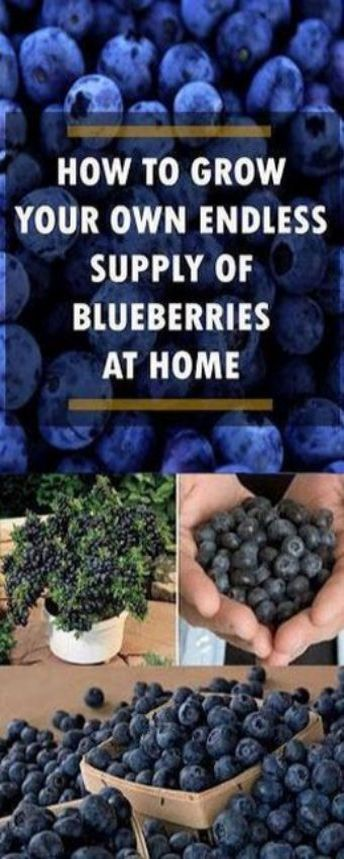 Photo of HOW TO GROW YOUR OWN ENDLESS SUPPLY OF BLUEBERRIES AT HOME