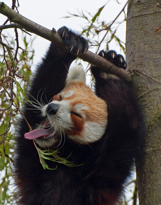 Red panda pull ups by Harlequeen