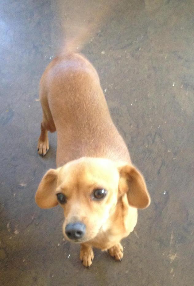 Copper Chihuahua Beagle Mix Dogs Puppies Beagle Mix