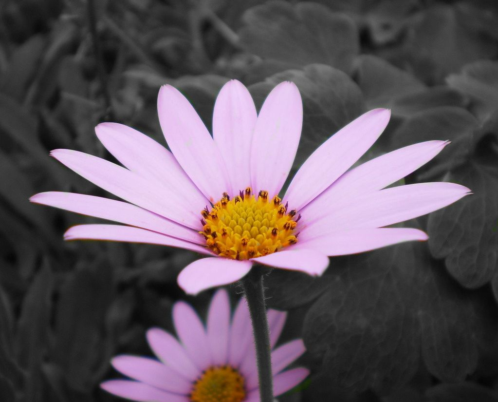 Color splash pink purple