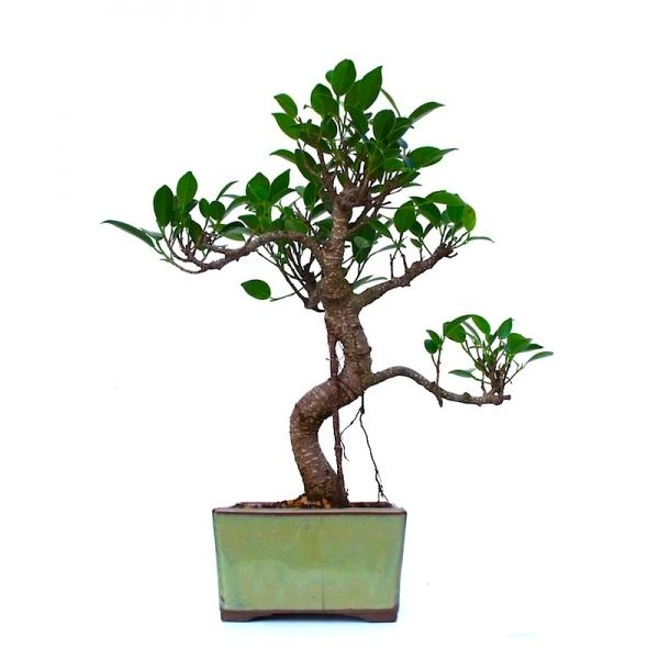 vente de bonsai ficus retusa 35 cm fr131202 sankaly bonsa boutique en ligne vente de bonsa. Black Bedroom Furniture Sets. Home Design Ideas